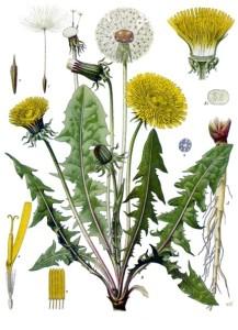 Par Franz Eugen Köhler, Köhler's Medizinal-Pflanzen pour Altheaprovence