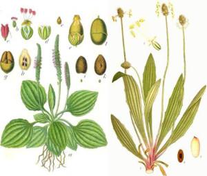 A gauche, le grand plantain, à droite, le plantain lancéolé