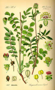 La pimprenelle qui se transplante et de divise facilement, à toute saison.