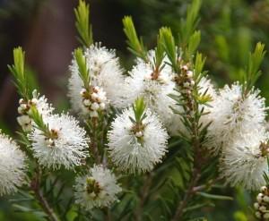 Fleurs d'arbre à thé, il est surtout cultivé en Australie. On utilise les feuilles. Les chémotypes qui doivent être indiqués : terpinèn-4-ol, gamma-terpinène