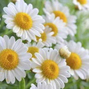Fleurs de Camomille romaine, à ne pas confondre avec l'allemande. Elles est d'origine française. Il doit être indiqué dans le chémotype : angélate d'isobutyle, angélate d'isomyle