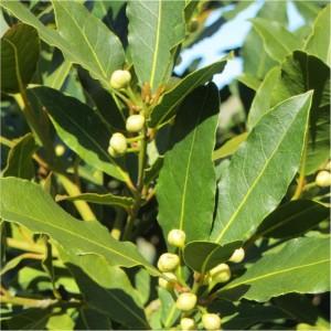 On utilise les feuilles de laurier pour l'aroma. Il est d'origine des Balkans. Le chémotype qui doit être indiqué : 1,8-cinéole