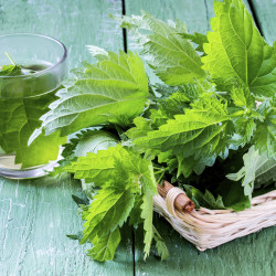 Medicinal plant - stinging nettle (fresh leaves and infusion) on a green wooden table