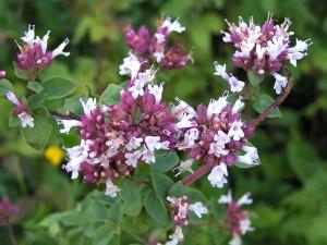 Fleurs de l'Origan, il vient du Maroc. On utilise toutes les parties aériennes. Les chémotypes qui doivent être indiqués : carvacrol, thymol, gamma-terpinène