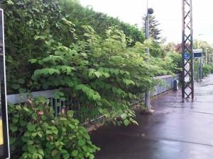 Renoué du Japon affectionnant tous les lieux de passage, ici, les quais de train