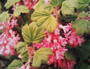 Groseillier à fleurs, Ribes
