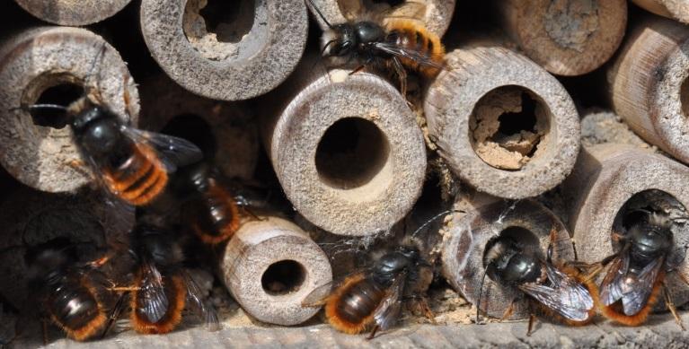 Les Osmies dans leurs ruches