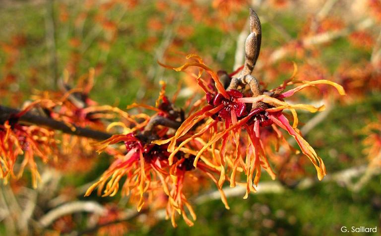 Hamamélis, les fleurs poussent sur les rameaux avant l'apparition du feuillage