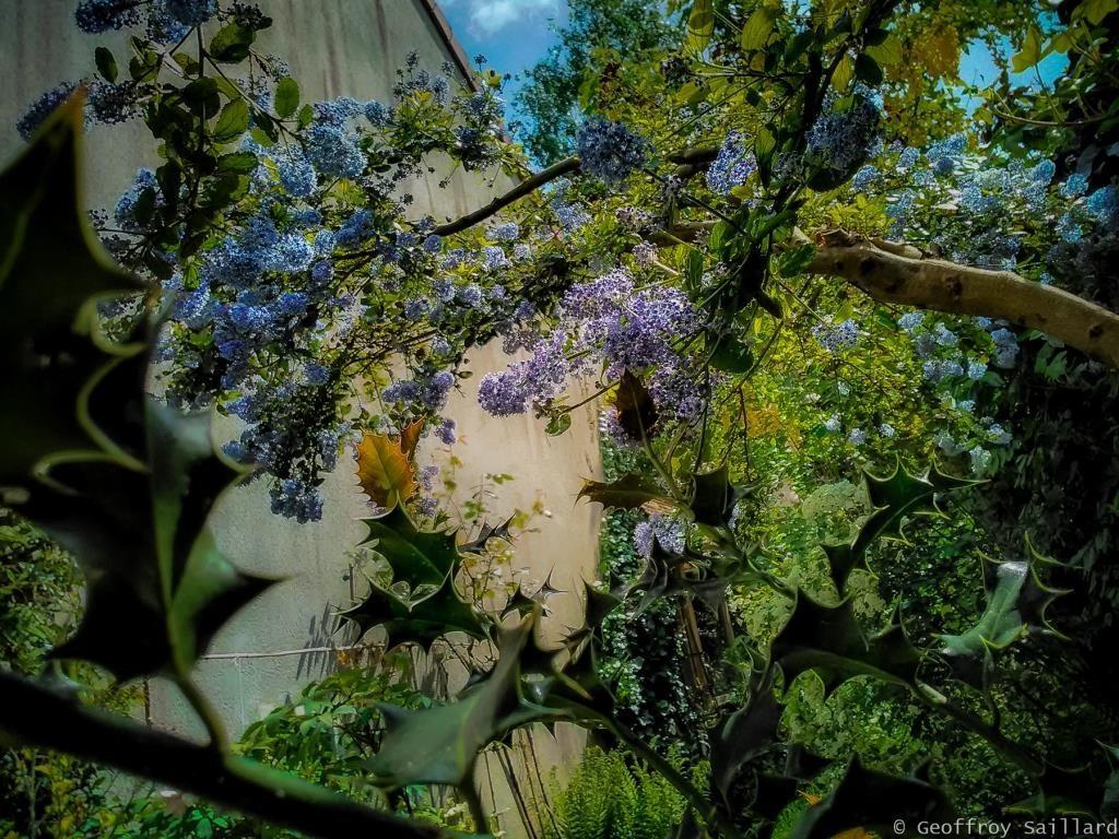 La céanothe est un arbuste très apprécié au mois de juin, pour son nectar