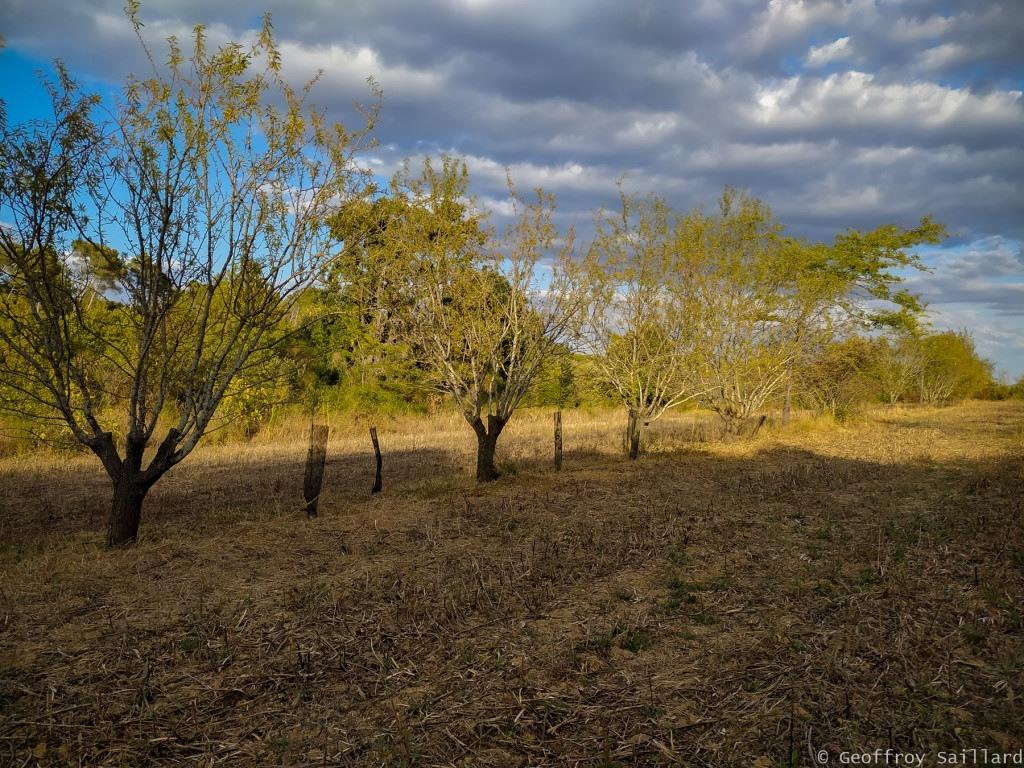 Une des nombreuses parcelles agroforestières du domaine, dans celle-ci, on y trouve des amandiers, pêchers, figuiers pour les fruits et sur le même rang des arbres fourrage/fixateur d'azote : frênes et févier d'Amérique