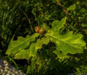 Sur cette feuille de chêne on peut observer des  boules rondes (la galle du chêne); ce sont des cynips (petits hyménoptères de la même famille que les abeilles ou les guêpes)  qui pondent sur la feuille au début du printemps. Cela est sans gravité.
