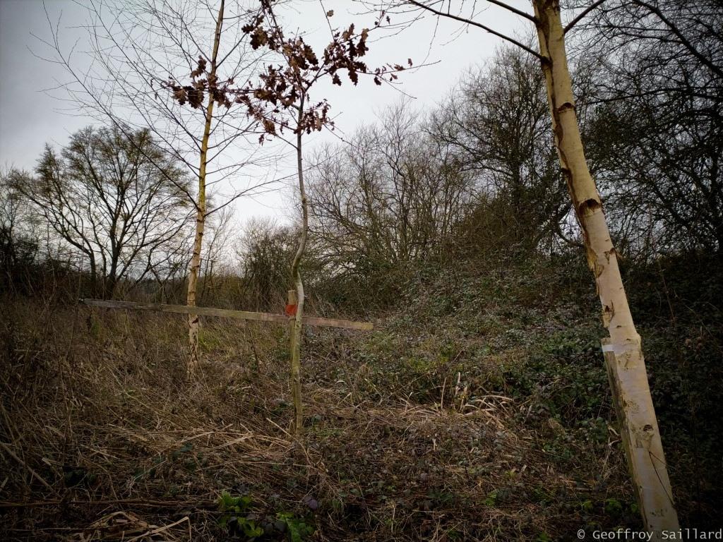 Le bouleau un arbre pionnier, qui croit aisément sur divers sols pauvres, des forêts.