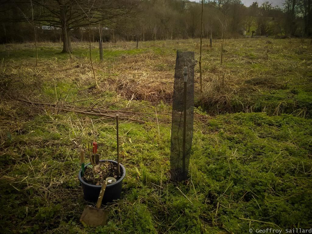 """En novembre 2018, j'ai effectué une première """"plantation de remplacement"""" de semis spontanés frênes (1-2ans) aux endroits où certains chênes n'auraient pas survécus ou dans certaines zones nues. Je continue à fréquence régulière, au moins tous les hivers."""