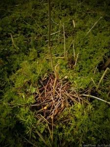 Plantation de complement/remplacement de semis spontanés de frênes (1-2ans) - je paille avec les taille des branches des arbustes alentour, c'est le chop and drop