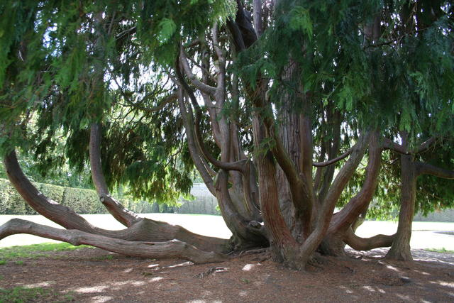 Ils sont naturels pour certaines espèces et pour certains vieux arbres, comme ici avec ce Cyprès localisé au jardin de l'observatoire de Meudon