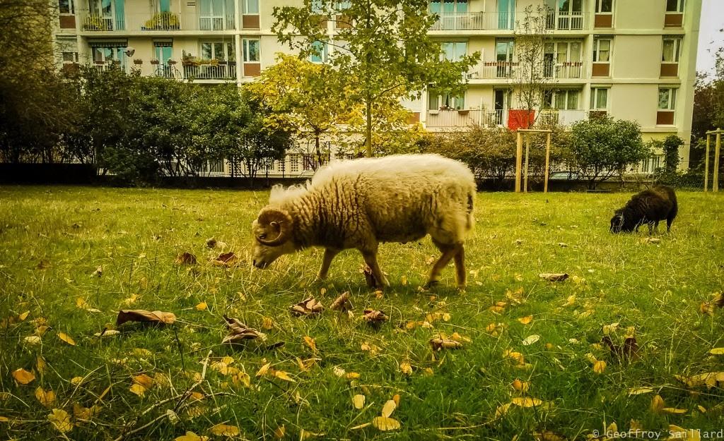 Eco-paturage à Cachan avec la chèvre des fossés