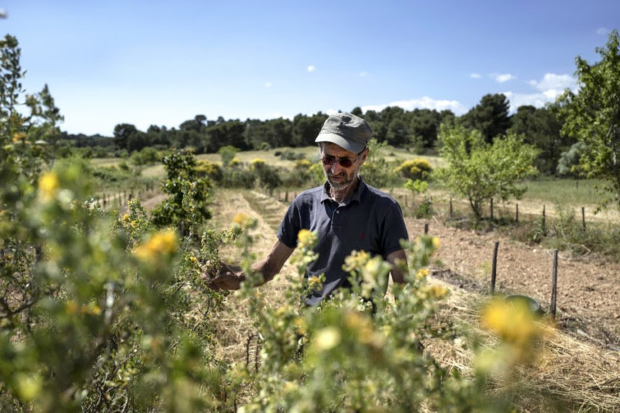 François de Soos contrôle la croissance de jeunes arbres, dans la dernière parcelle qu'il a plantée fait de plaqueminier-amende ©photo d'Idriss Bigou-Gilles pour Le Pèlerin.