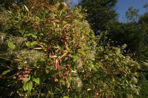 Le fusain d'Europe (Euonymus europaeus) , qui est très mellifère et dont baies sont appréciées des oiseaux