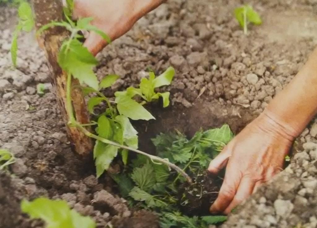 A la mi-mai, les jeunes plants de tomates se plantent toujours en profondeur et en buttant, on peut mettre des feuilles d'orties ou de consoudes au font du trou.