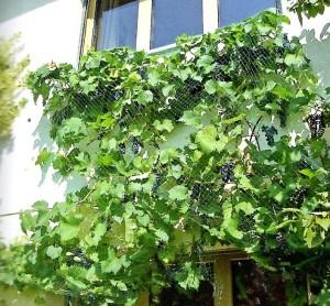 Des supports pour tous types de plantes grimpantes, sur la maison