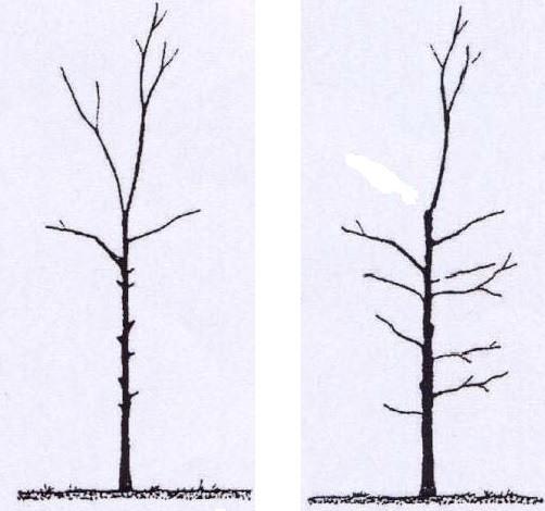 Gauche: mauvaise-taille (taille plumeau); droite: bonne-taille (équilibrée)
