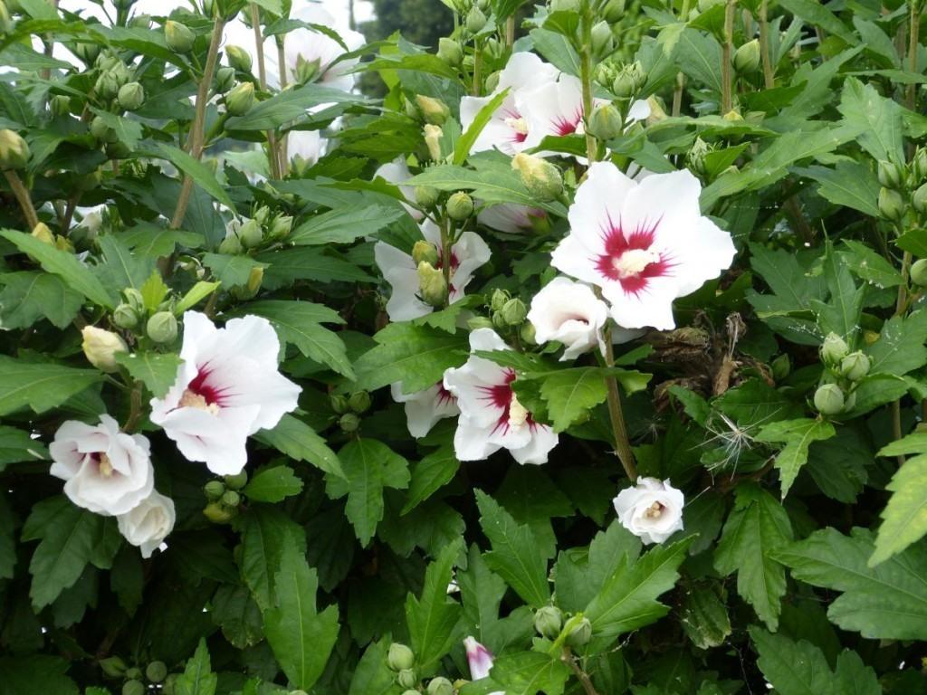 althea-hibiscus-008
