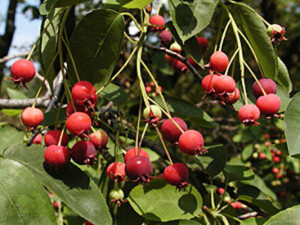 Amelanchier canadensis_fruits