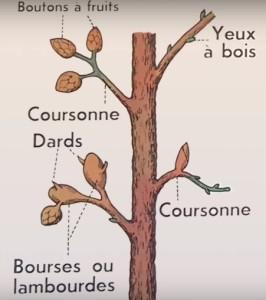 Reconnaitre les bourgeons sur un arbre fruitier