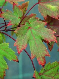 Feuilles de l'Érable 'Autumn Blaze'