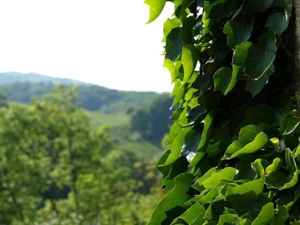 lierre-biodiversite-rechauffement-climatique
