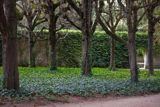 Lierre d'Irlande sous des marronniers d'Indes - (uscjas / flickr.com)