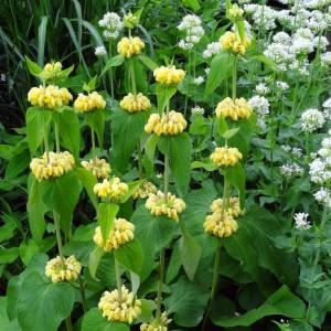 phlomis-russeliana-8422-1